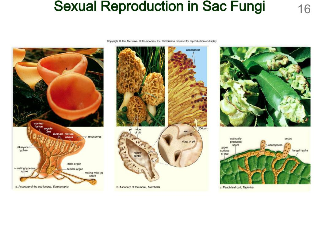 Sexual Reproduction in Sac Fungi