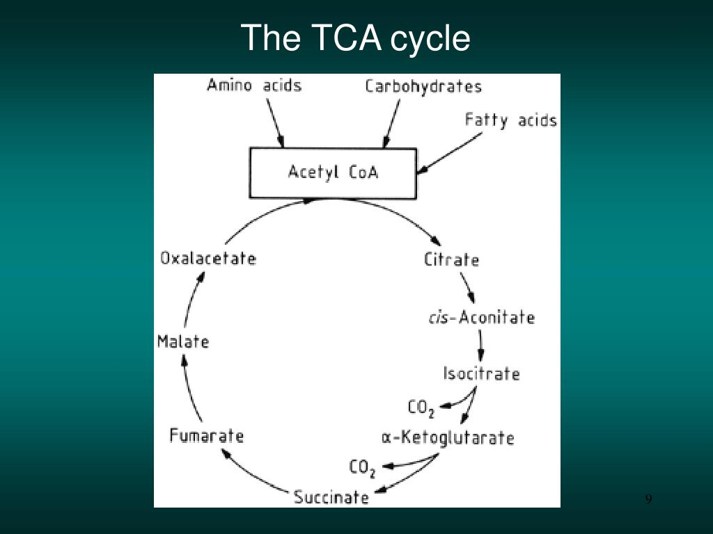 The TCA cycle
