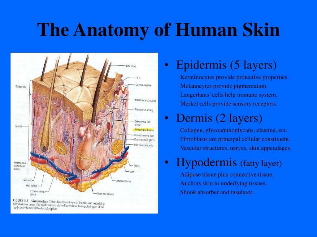 The Anatomy of Human Skin