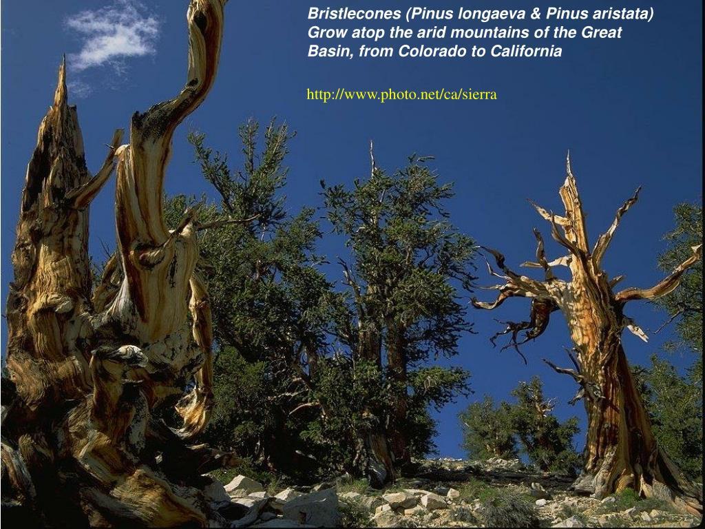 Bristlecones (Pinus longaeva & Pinus aristata)