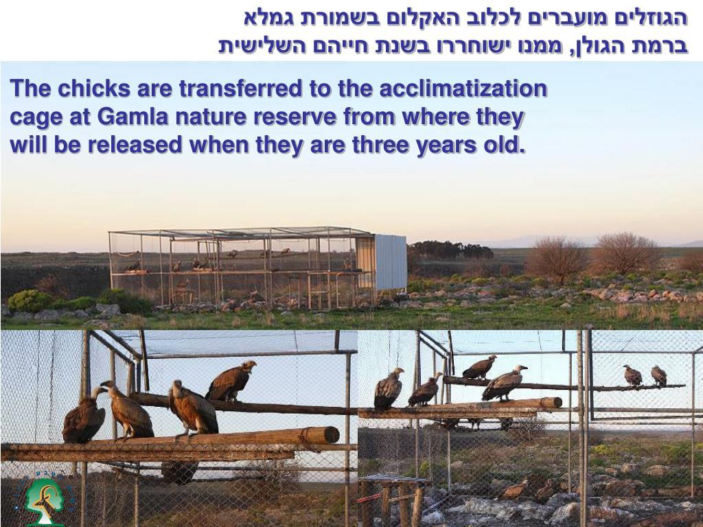 הגוזלים מועברים לכלוב האקלום בשמורת גמלא ברמת הגולן, ממנו ישוחררו בשנת חייהם השלישית