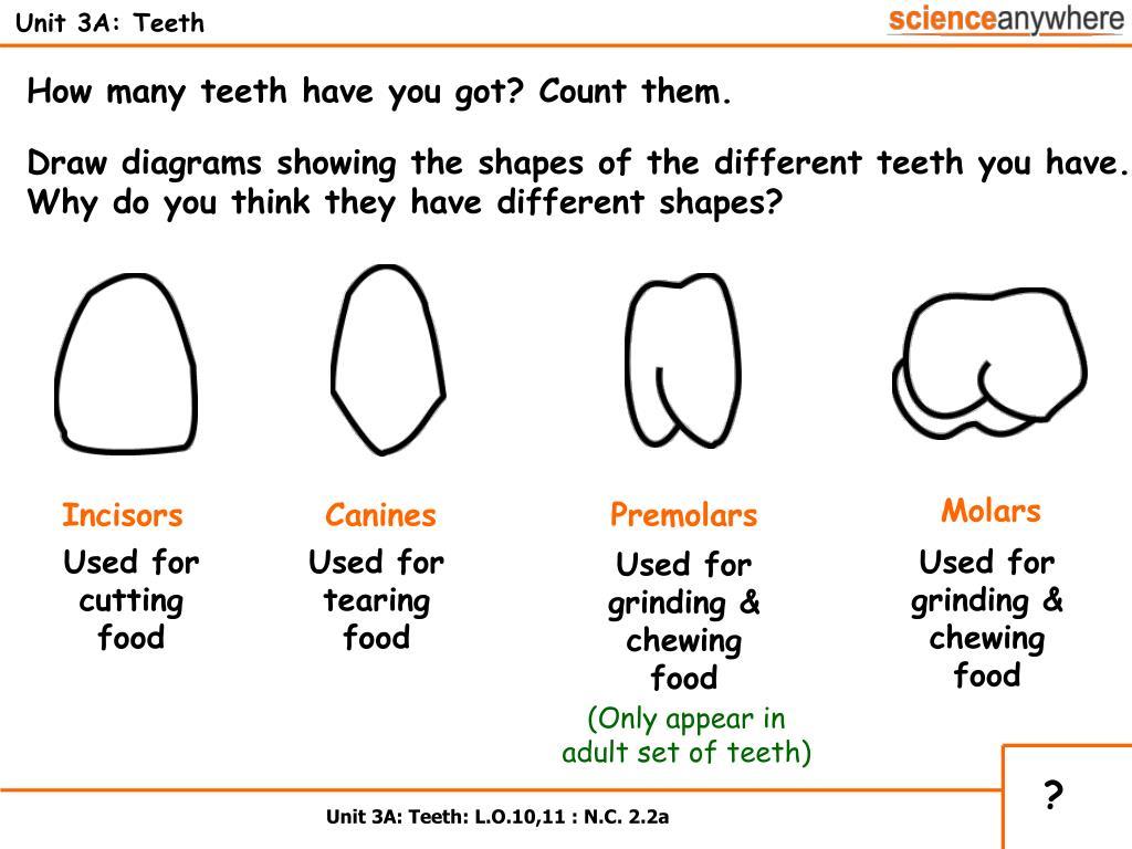 Unit 3A: Teeth