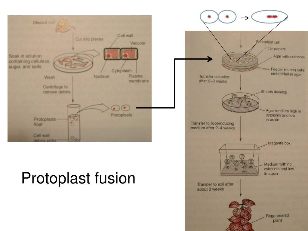 Protoplast fusion