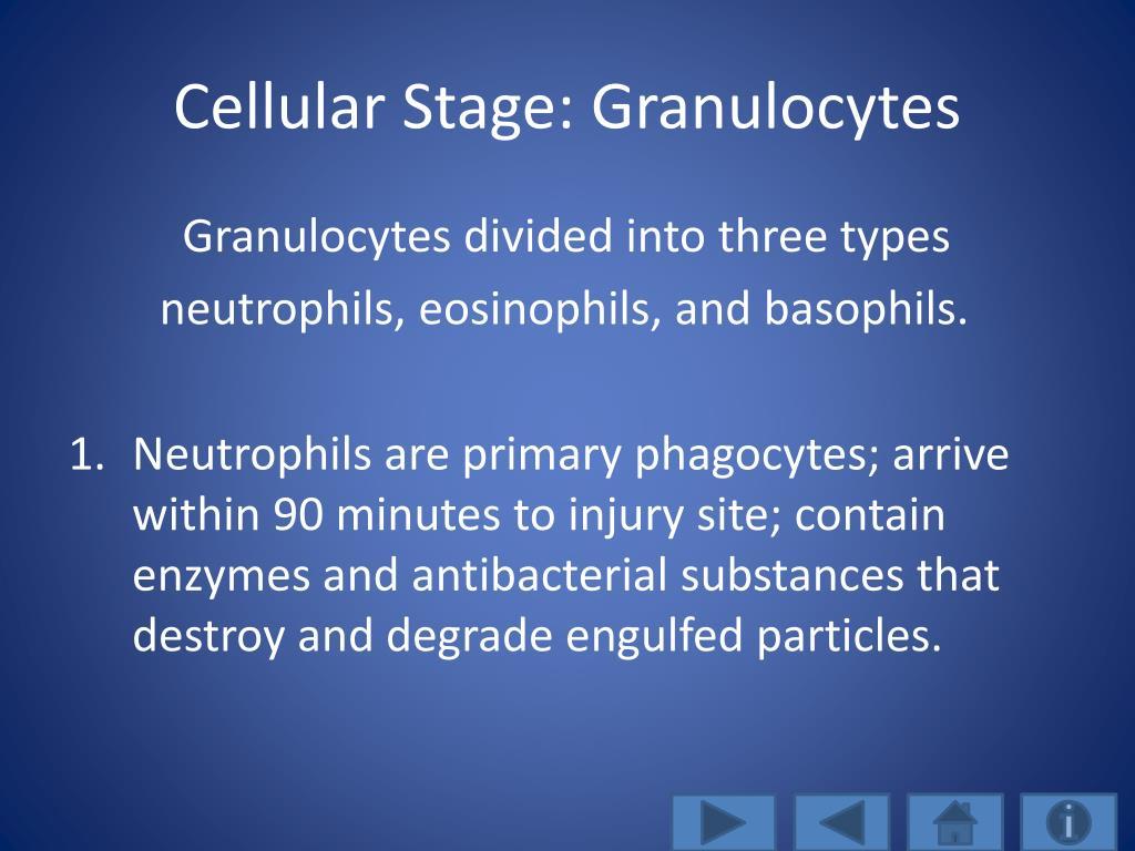 Cellular Stage: Granulocytes