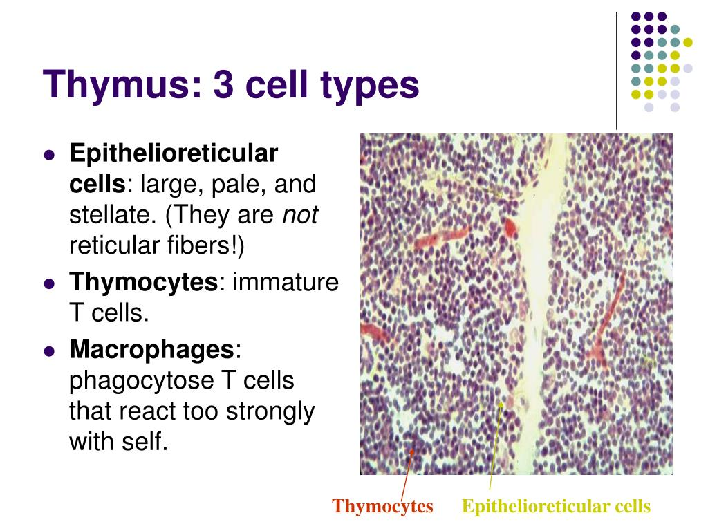 Thymus: 3 cell types