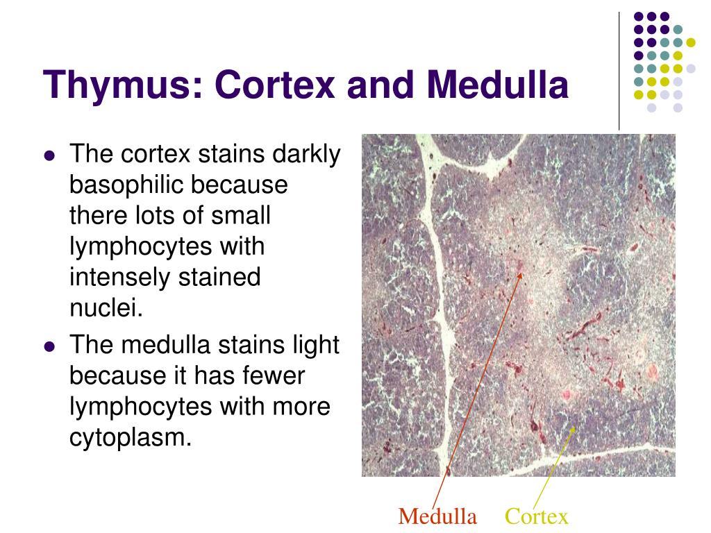 Thymus: Cortex and Medulla