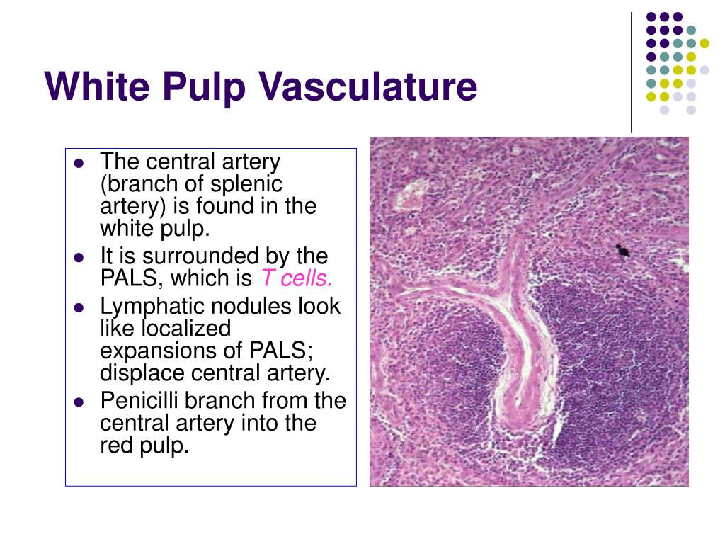 White Pulp Vasculature