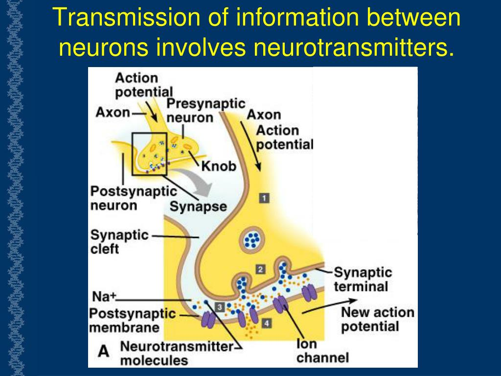 Transmission of information between  neurons involves neurotransmitters.