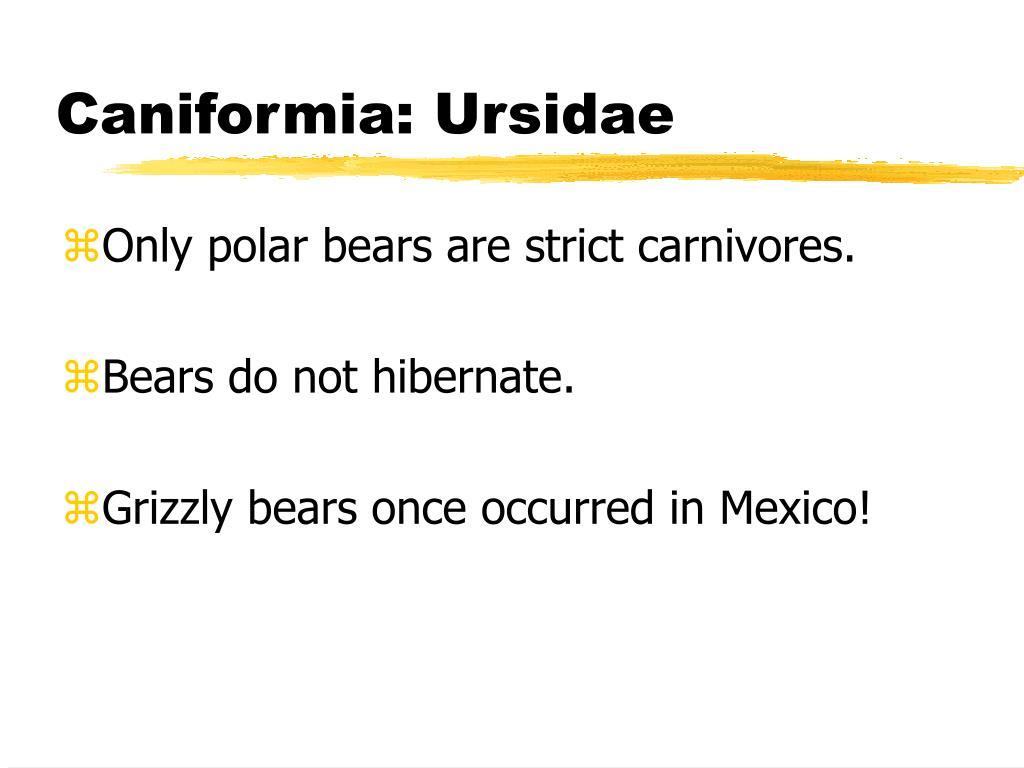 Caniformia: Ursidae