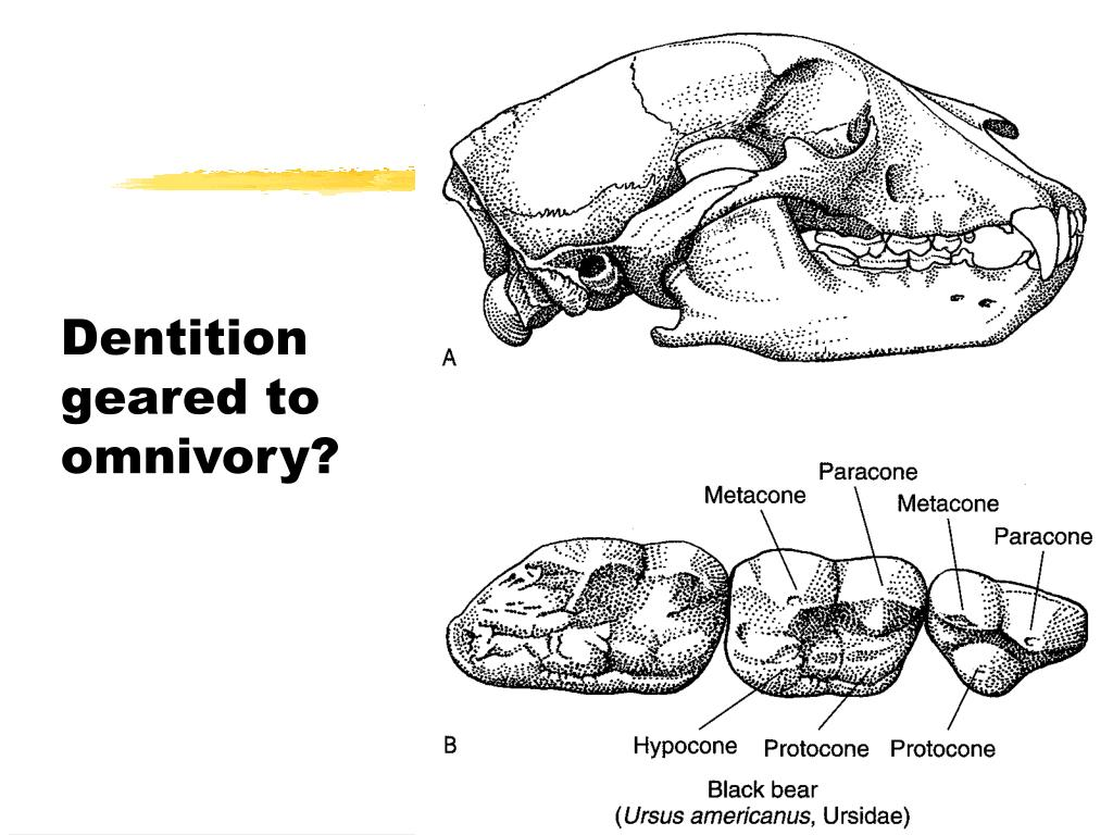 Dentition geared to omnivory?