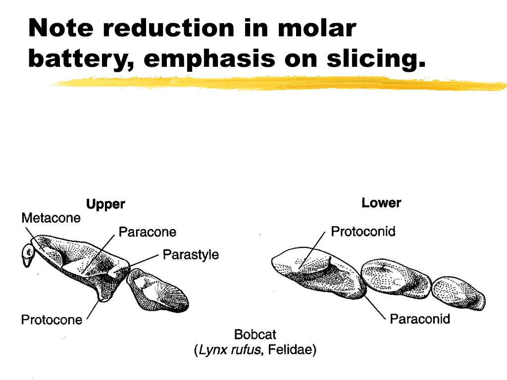 Note reduction in molar battery, emphasis on slicing.