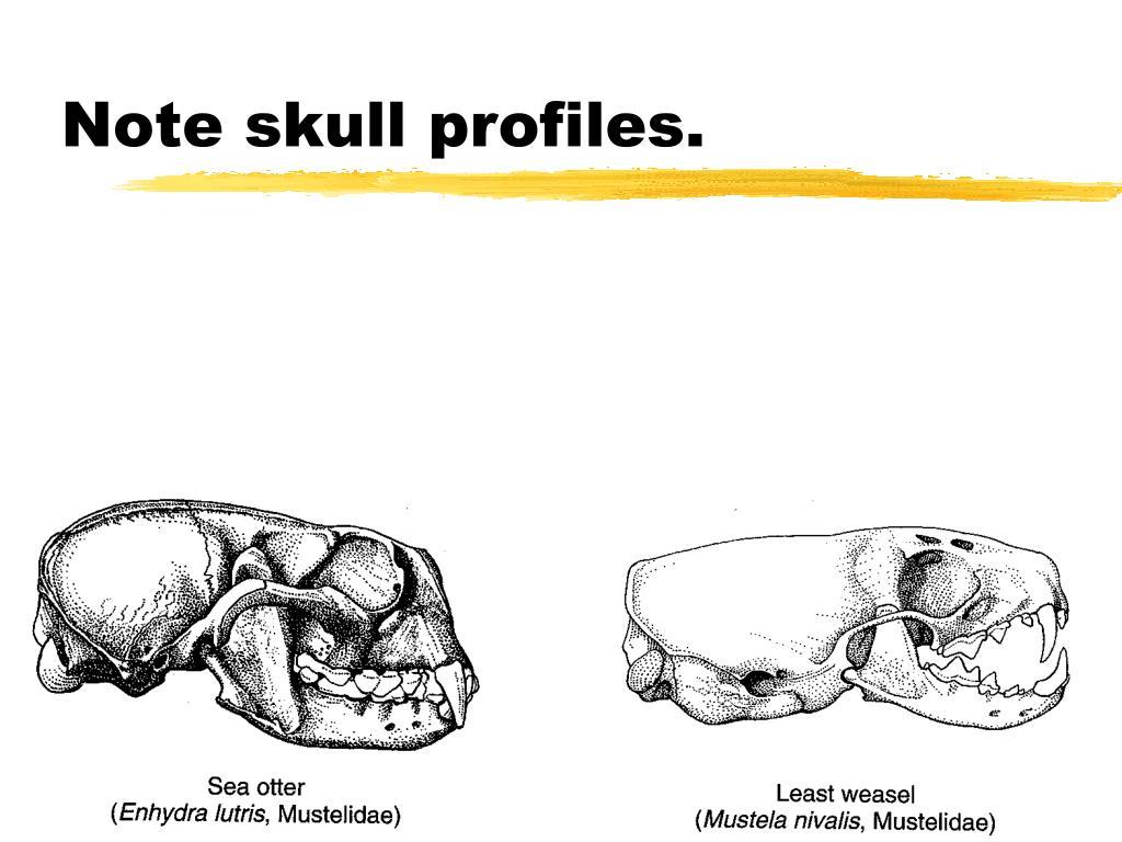 Note skull profiles.