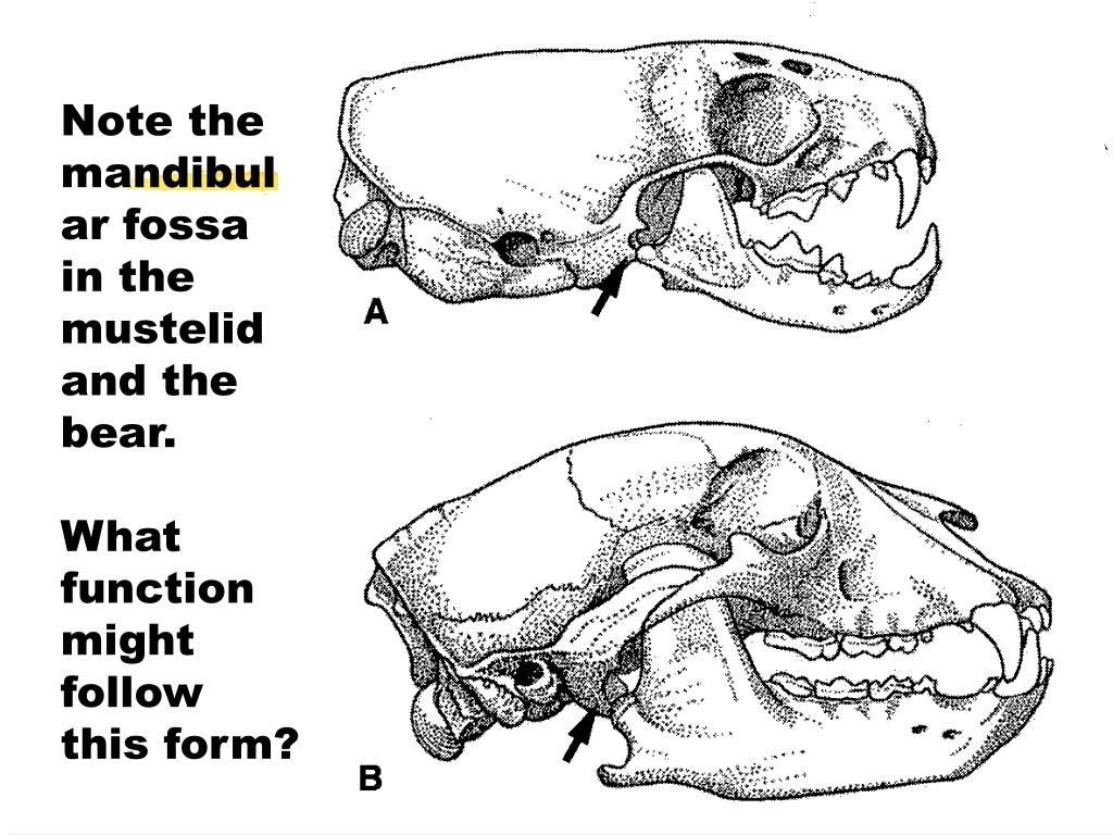 Note the mandibular fossa in the mustelid and the bear.