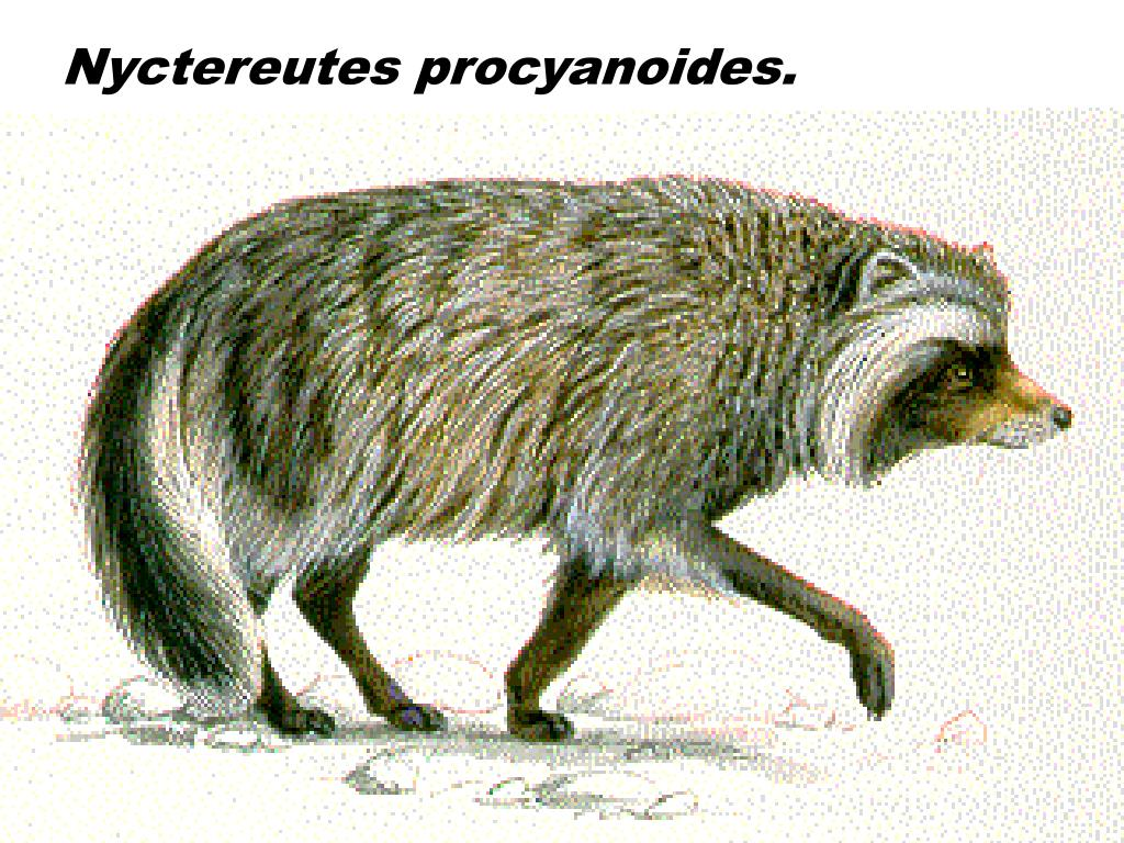 Nyctereutes procyanoides.