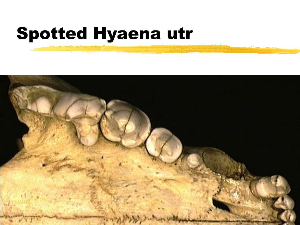Spotted Hyaena utr