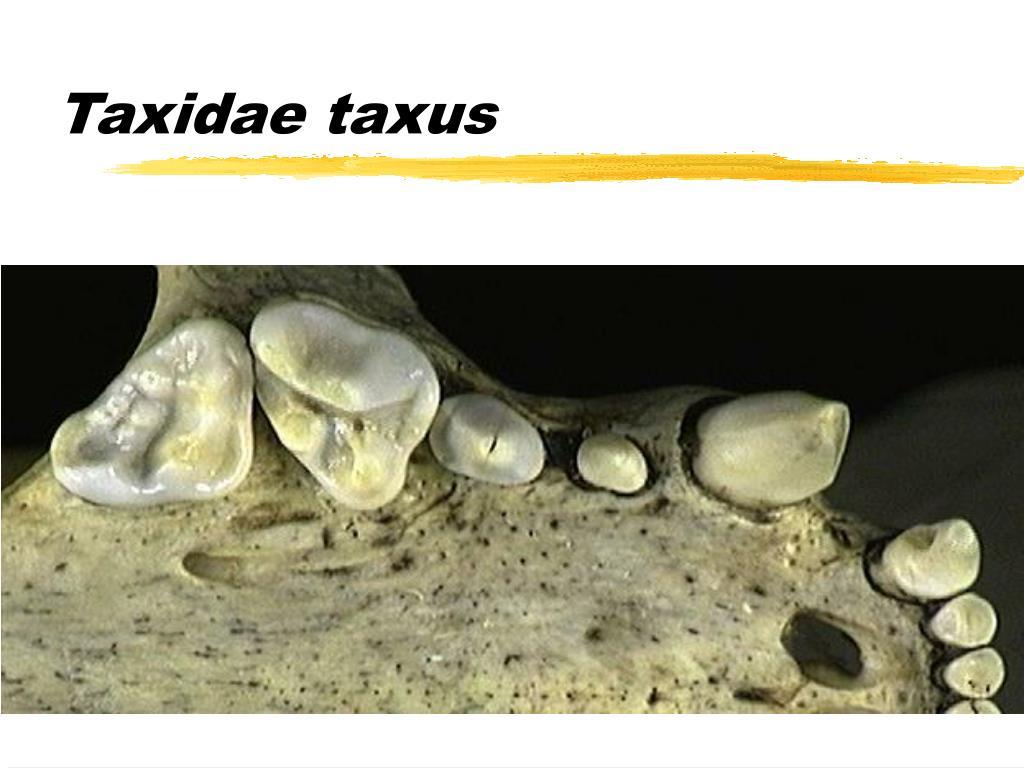 Taxidae taxus