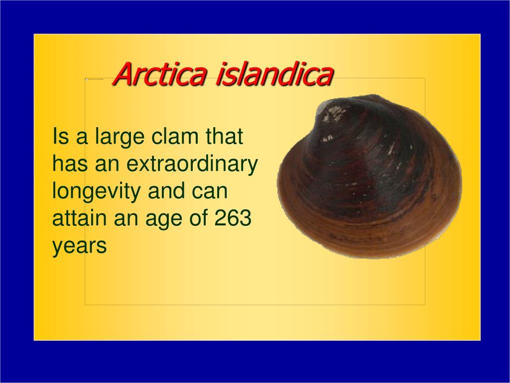 Arctica islandica