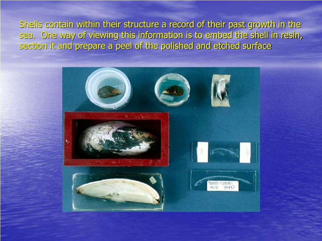 Shells contain within their structure a record of their past growth in the sea.  One way of viewing this information is to embed the shell in resin, section it and prepare a peel of the polished and etched surface