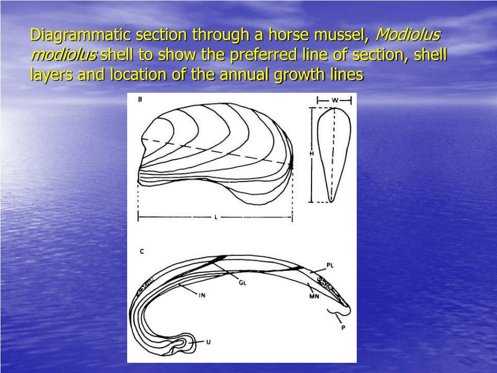 Diagrammatic section through a horse mussel,