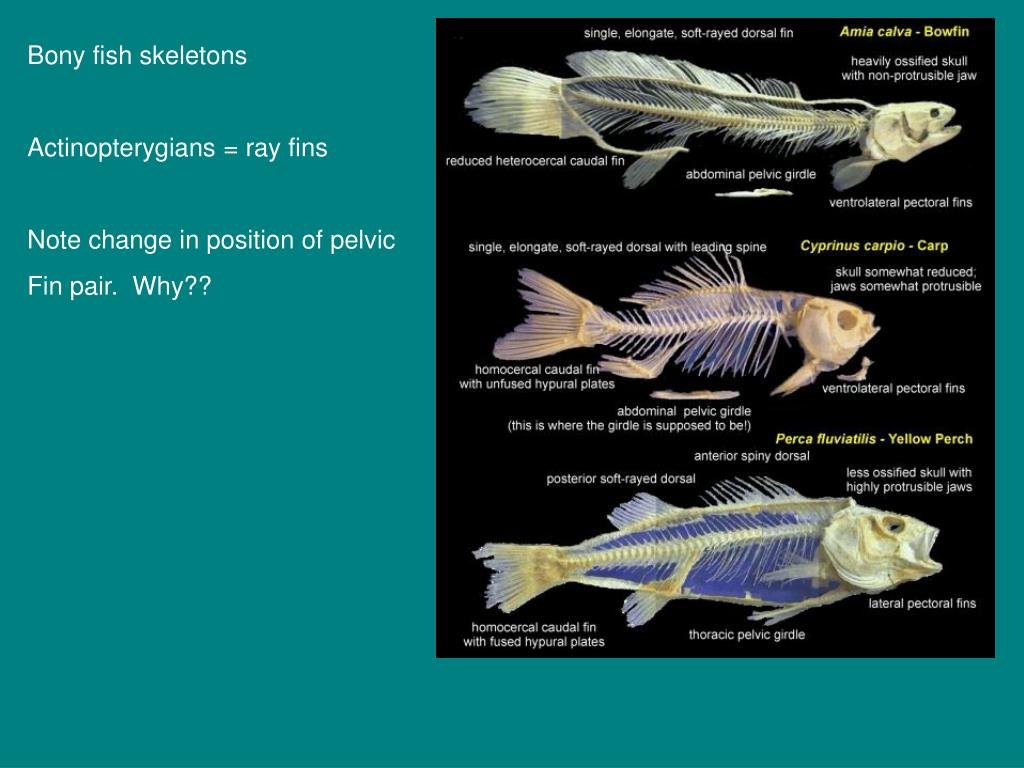 Bony fish skeletons