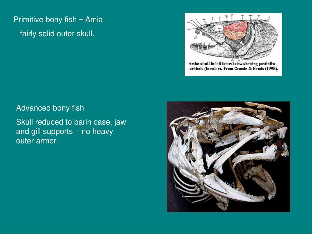 Primitive bony fish = Amia