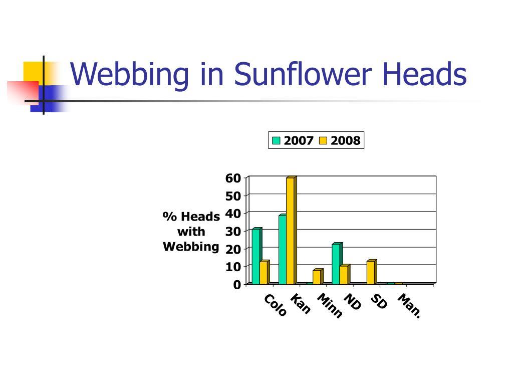 Webbing in Sunflower Heads