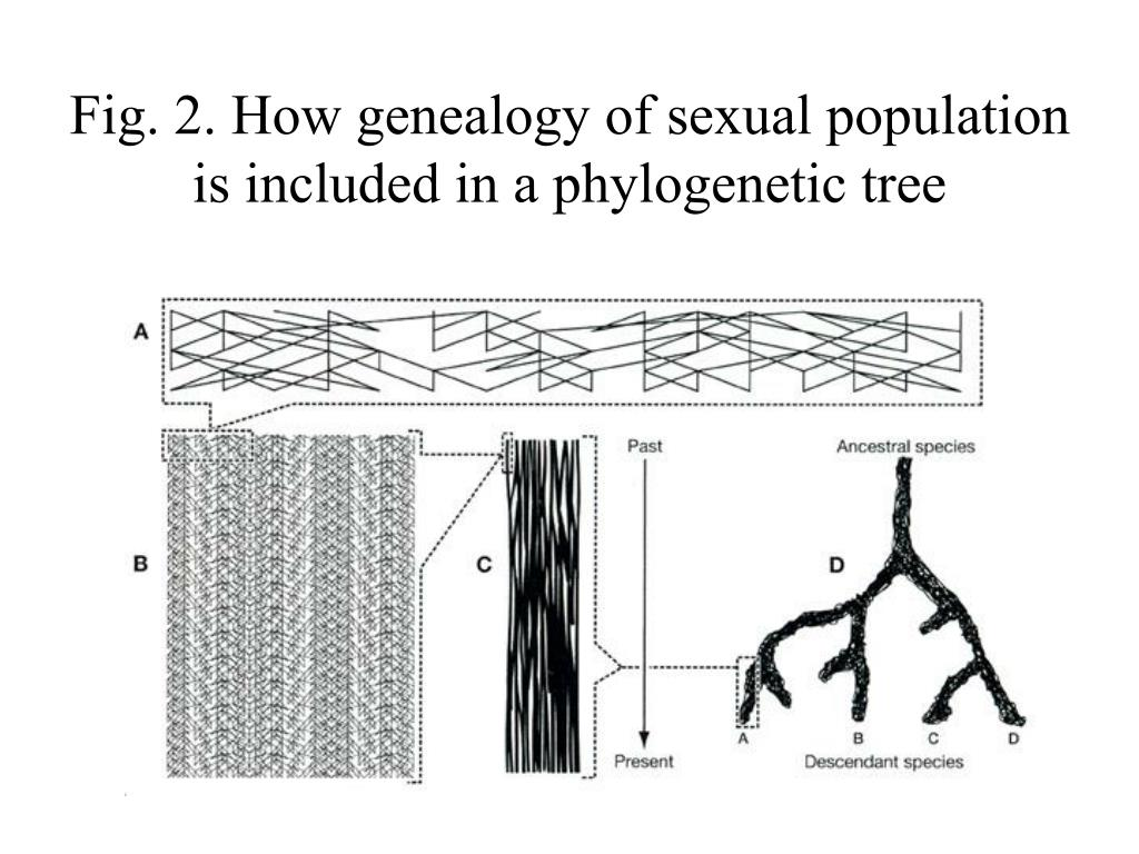 Fig. 2. How genealogy of sexual population is included in a phylogenetic tree