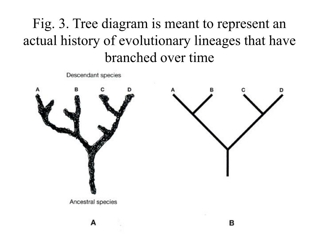 Fig. 3. Tree diagram is meant to represent an actual history of evolutionary lineages that have branched over time