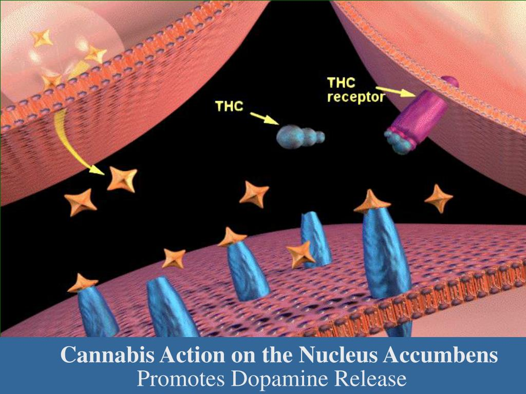 Cannabis Action on the Nucleus Accumbens