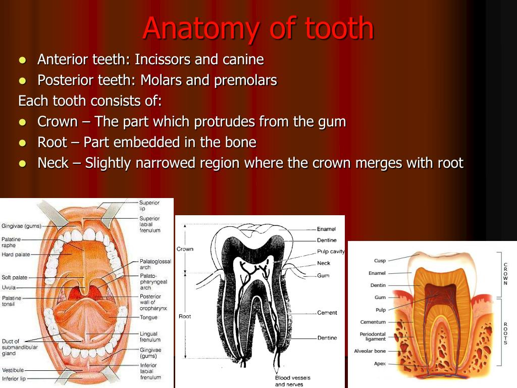 Tooth anatomy images