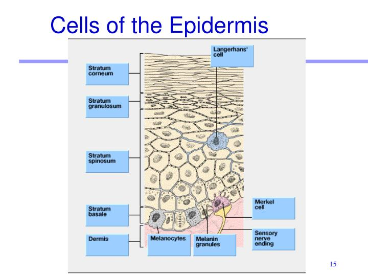 Cells of the Epidermis