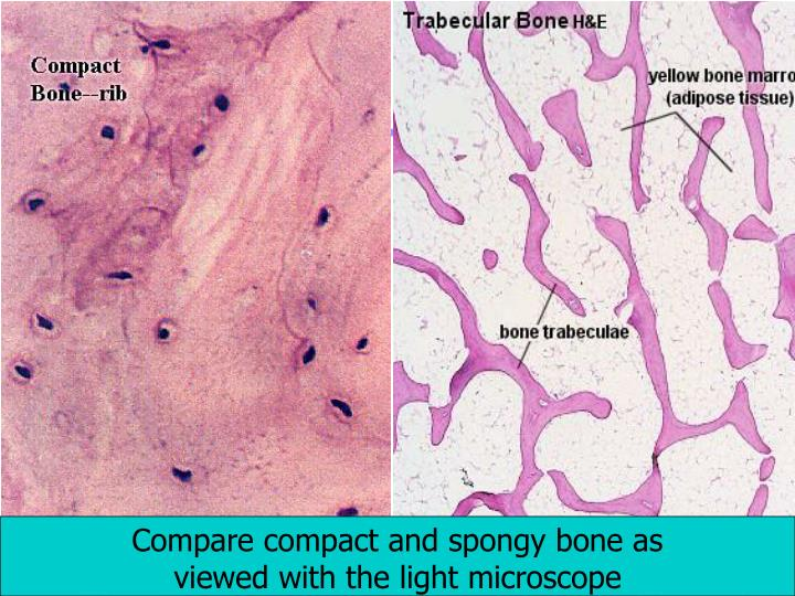 Compare compact and spongy bone as