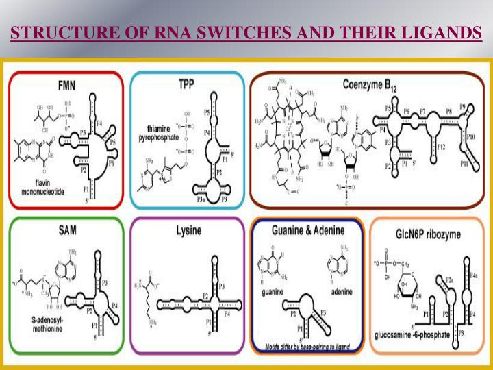 STRUCTURE OF RNA SWITCHES AND THEIR LIGANDS