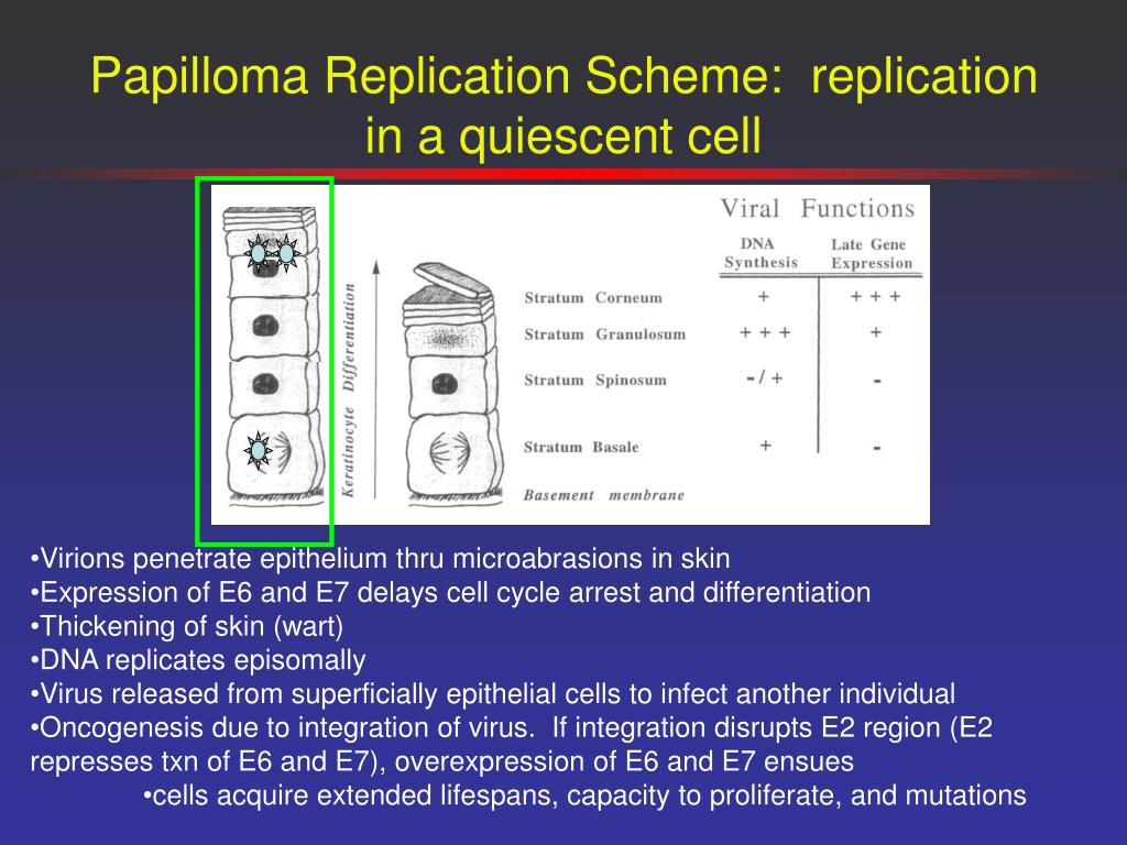 Papilloma Replication Scheme:  replication in a quiescent cell