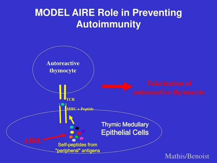 MODEL AIRE Role in Preventing Autoimmunity