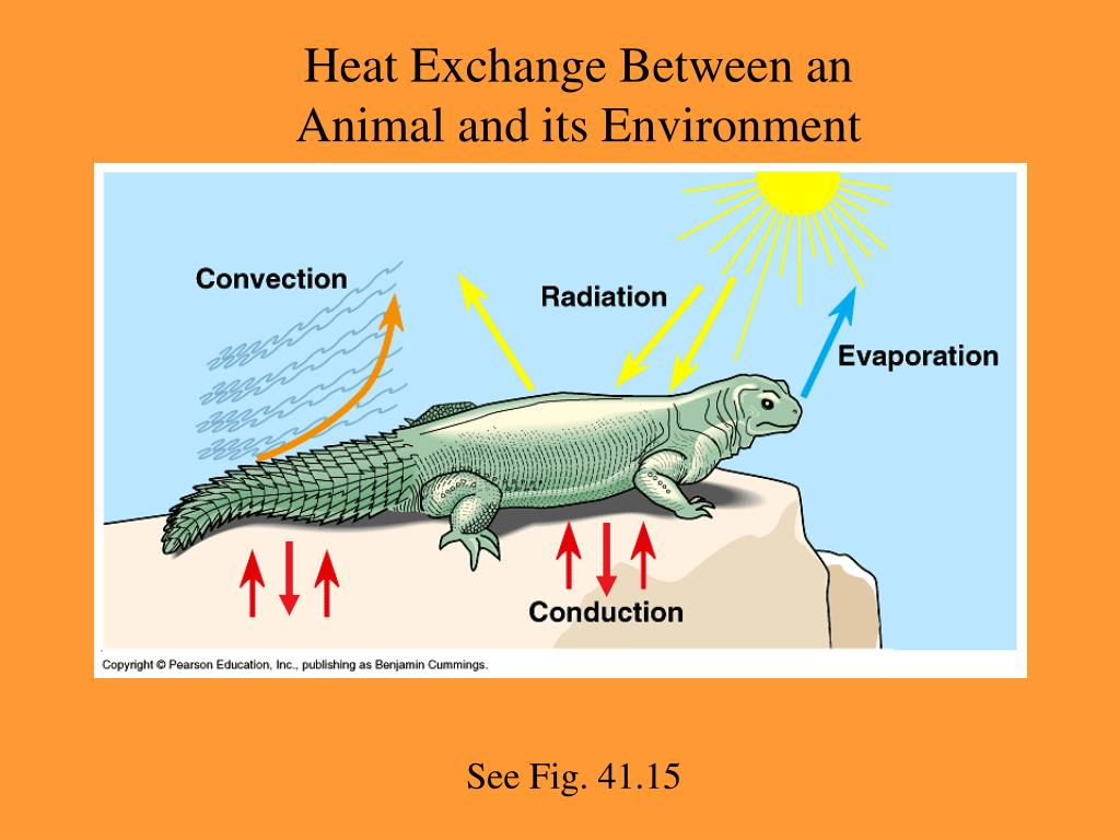 Heat Exchange Between an Animal and its Environment