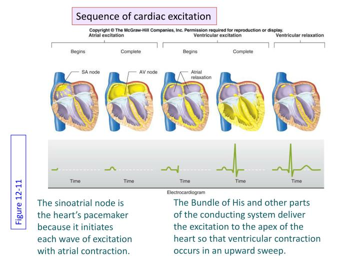 Sequence of cardiac excitation