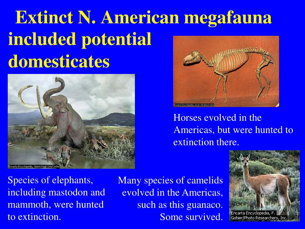 Extinct N. American megafauna