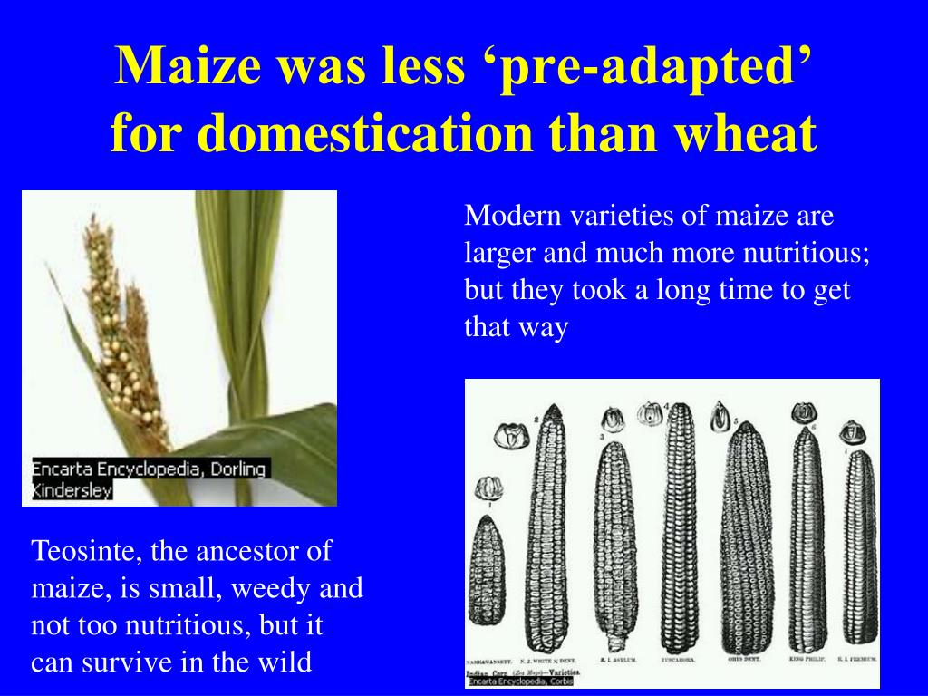 Modern varieties of maize are larger and much more nutritious; but they took a long time to get that way