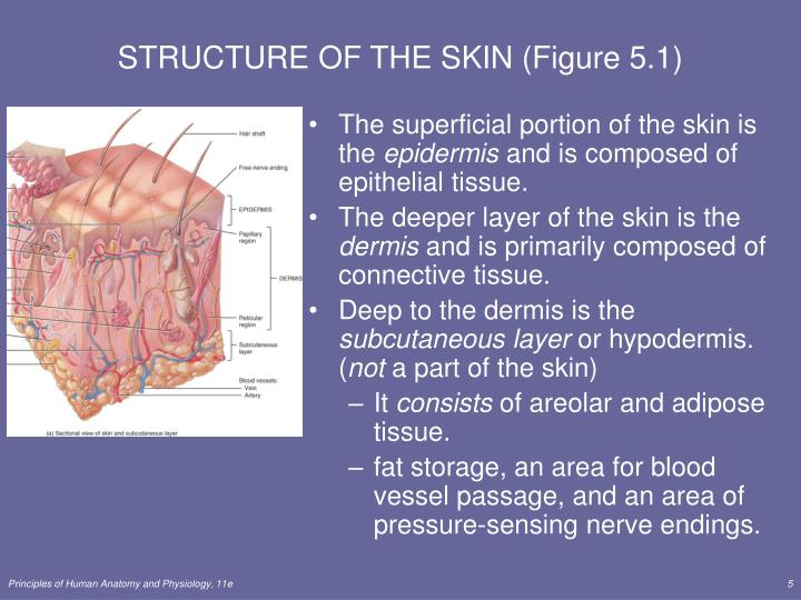 STRUCTURE OF THE SKIN (Figure 5.1)