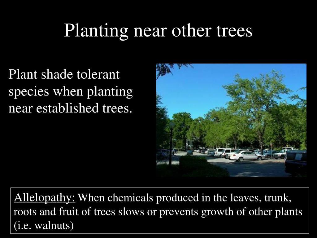 Planting near other trees