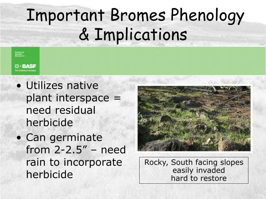 Important Bromes Phenology & Implications