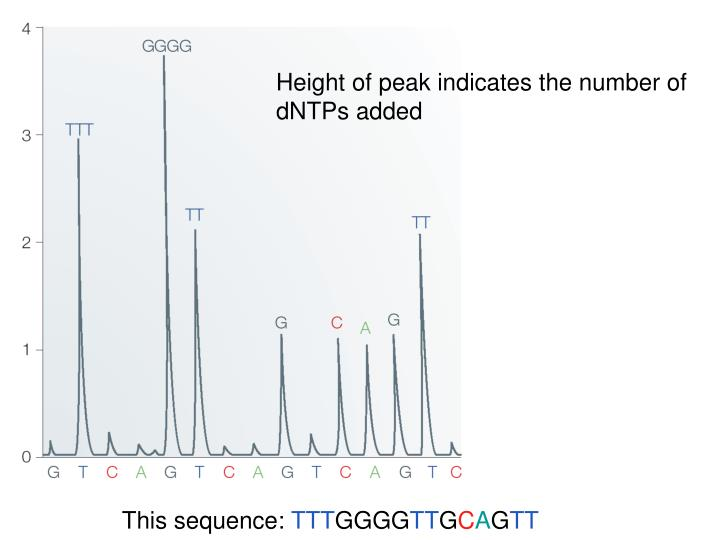 Height of peak indicates the number of dNTPs added