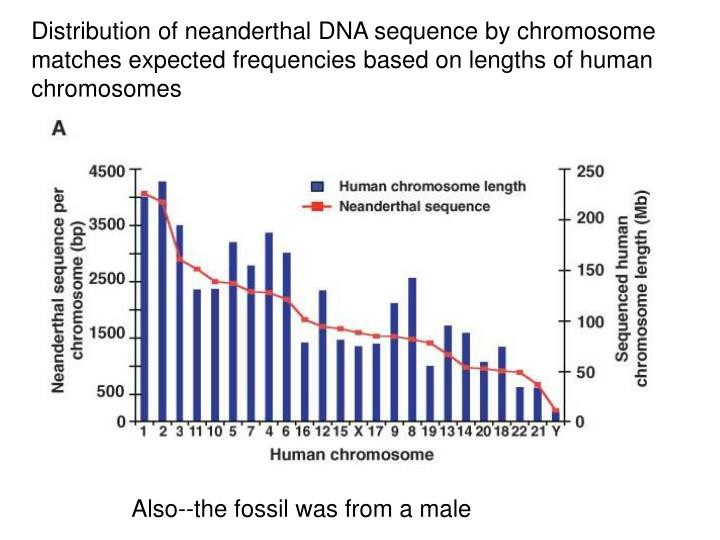 Distribution of neanderthal DNA sequence by chromosome matches expected frequencies based on lengths of human chromosomes