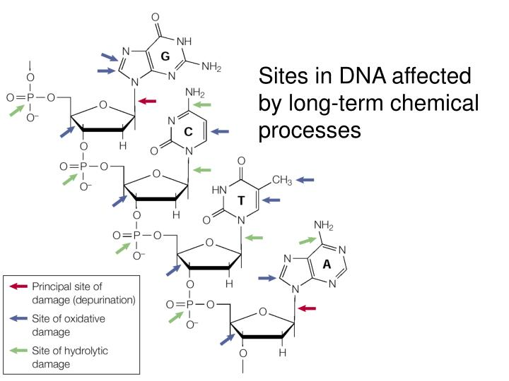Sites in DNA affected by long-term chemical processes
