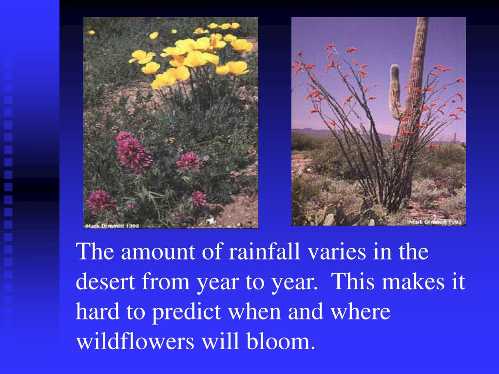 The amount of rainfall varies in the desert from year to year.  This makes it hard to predict when and where wildflowers will bloom.