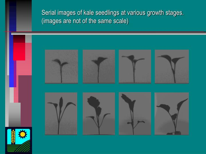 Serial images of kale seedlings at various growth stages. (images are not of the same scale)