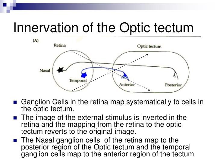 Innervation of the Optic tectum