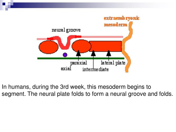 In humans, during the 3rd week, this mesoderm begins to segment. The neural plate folds to form a neural groove and folds.