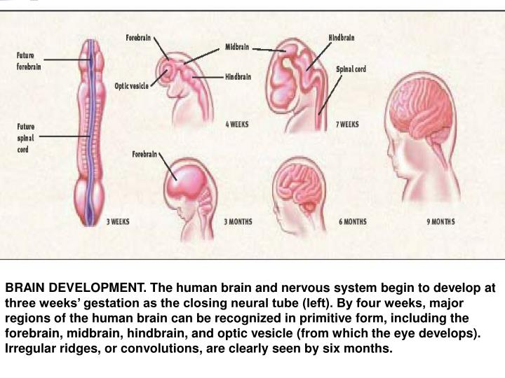 BRAIN DEVELOPMENT. The human brain and nervous system begin to develop at three weeks' gestation as the closing neural tube (left). By four weeks, major regions of the human brain can be recognized in primitive form, including the forebrain, midbrain, hindbrain, and optic vesicle (from which the eye develops). Irregular ridges, or convolutions, are clearly seen by six months.